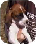 Foxhound/Bloodhound Mix Puppy for adoption in Buffalo, New York - Duke