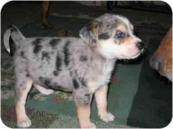 Australian Shepherd/Sheltie, Shetland Sheepdog Mix Puppy for adoption in all of, Connecticut - Lincoln