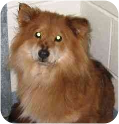 Corgi/Chow Chow Mix Dog for adoption in West Warwick, Rhode Island - Bonnie