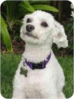 Bichon Frise Mix Dog for adoption in La Costa, California - Indy