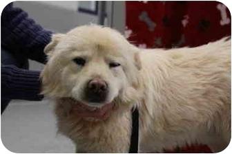 American Eskimo Dog/Spitz (Unknown Type, Medium) Mix Dog for adoption in Lincolnton, North Carolina - Mickey