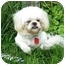 Photo 2 - Shih Tzu Dog for adoption in Ile-Perrot, Quebec - Coco