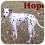 Photo 3 - Dalmatian Mix Dog for adoption in Bloomsburg, Pennsylvania - Hope