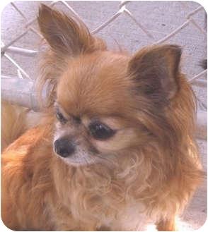 Chihuahua Dog for adoption in Hayden, Idaho - Rita