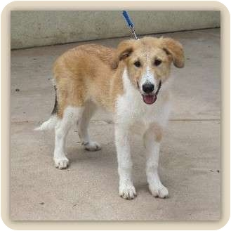 Collie Mix Puppy for adoption in Riverside, California - Colleen