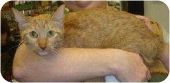 Manx Cat for adoption in Schertz, Texas - Comere
