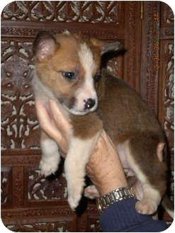 Husky/Australian Shepherd Mix Puppy for adoption in Hammonton, New Jersey - Antebellum