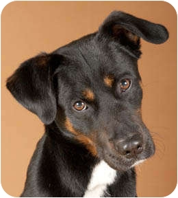 Rottweiler Mix Dog for adoption in Chicago, Illinois - Moto