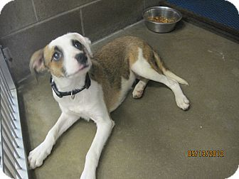 Australian Shepherd Mix Dog for adoption in Collinsville, Oklahoma - Julie
