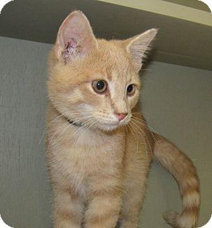 Domestic Shorthair Kitten for adoption in Grinnell, Iowa - Peeta
