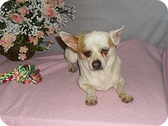 Chihuahua Dog for adoption in Chandlersville, Ohio - Tiny Tim
