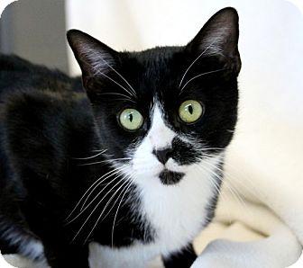 Domestic Shorthair Cat for adoption in Edwardsville, Illinois - Oreo
