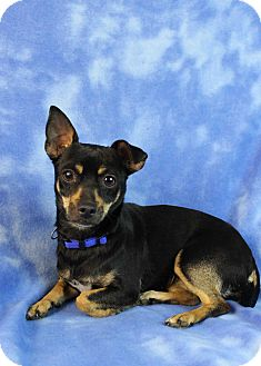 Miniature Pinscher Mix Dog for adoption in Westminster, Colorado - Norma