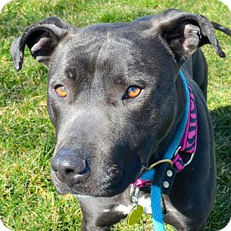 American Staffordshire Terrier/Labrador Retriever Mix Dog for adoption in North Olmsted, Ohio - Gemini-Foster Needed