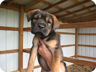 Shepherd (Unknown Type)/Terrier (Unknown Type, Medium) Mix Puppy for adoption in East Hartford, Connecticut - Lacey MEET ME 5/17