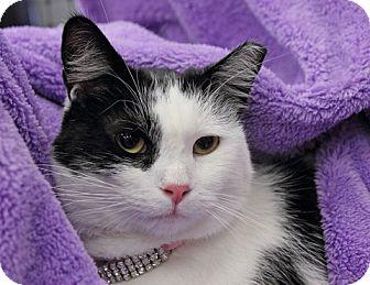 Domestic Shorthair Cat for adoption in Alexandria, Virginia - Quattro