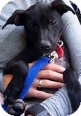 Miniature Pinscher/Terrier (Unknown Type, Small) Mix Dog for adoption in Homewood, Alabama - Spryte