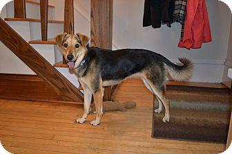 Shepherd (Unknown Type)/Terrier (Unknown Type, Medium) Mix Dog for adoption in Hainesville, Illinois - Samantha