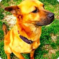 Adopt A Pet :: Dusty - Nashville, TN