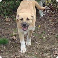 Adopt A Pet :: Collie - New Boston, NH