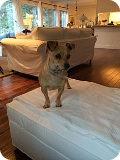 Terrier (Unknown Type, Small)/Chihuahua Mix Dog for adoption in San Dimas, California - Bunny