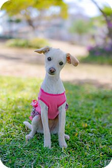 Terrier (Unknown Type, Small)/Maltese Mix Puppy for adoption in Corona, California - MARGARET is so sweet!
