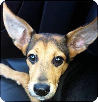 German Shepherd Dog/Hound (Unknown Type) Mix Puppy for adoption in Beachwood, Ohio - Riley