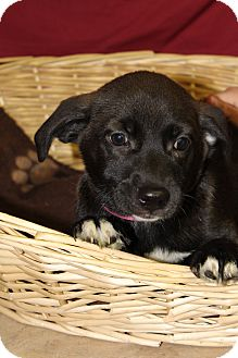 Labrador Retriever Mix Puppy for adoption in Waldorf, Maryland - Klever