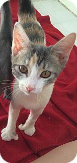 Polydactyl/Hemingway Kitten for adoption in Gainesville, Florida - Cat Osterman