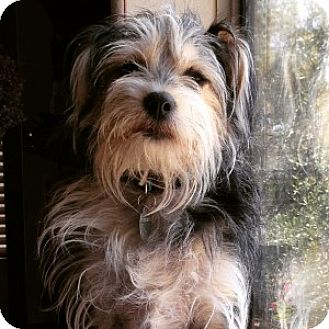 Terrier (Unknown Type, Small) Mix Dog for adoption in Los Angeles, California - MOOSE