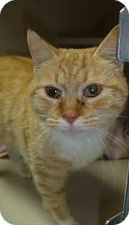 Domestic Shorthair Cat for adoption in Hamburg, New York - Jan