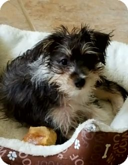 Yorkie, Yorkshire Terrier/Terrier (Unknown Type, Small) Mix Puppy for adoption in Chattanooga, Tennessee - Frida