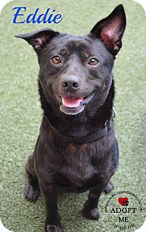 Corgi Mix Dog for adoption in Youngwood, Pennsylvania - Eddie