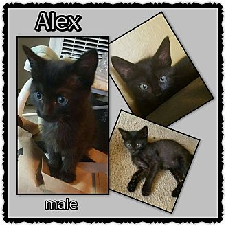 Domestic Shorthair Kitten for adoption in Richmond, California - Alex