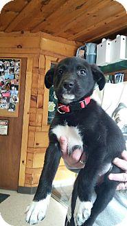 Labrador Retriever/Spaniel (Unknown Type) Mix Puppy for adoption in Treton, Ontario - Bella
