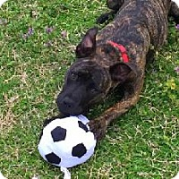 Adopt A Pet :: Sissy Lou - Richardson, TX