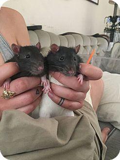 Rat for adoption in Philadelphia, Pennsylvania - 2 BABY BOY RATS!