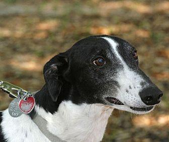 Greyhound Dog for adoption in Longwood, Florida - Russ