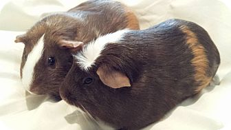 Guinea Pig for adoption in Williston, Florida - Cagney and Lacey