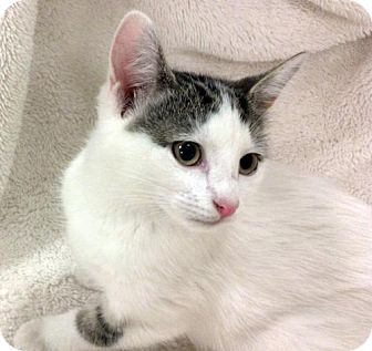 Domestic Shorthair Kitten for adoption in Trenton, New Jersey - Isabell (JA)