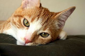 Domestic Shorthair Cat for adoption in Mountain View, California - Jerry