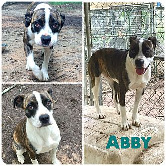 Boston Terrier Mix Dog for adoption in Hartwell, Georgia - Abbie