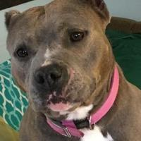 American Pit Bull Terrier Mix Dog for adoption in Kansas City, Missouri - Silvermist