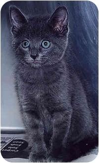 Domestic Shorthair Kitten for adoption in Owatonna, Minnesota - Augie