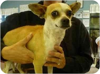 Chihuahua Mix Dog for adoption in San Clemente, California - RICA