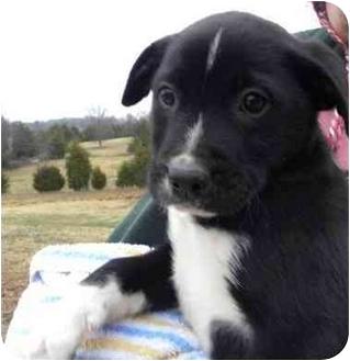 Border Collie Mix Puppy for adoption in Worcester, Massachusetts - Elliot