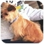 Photo 3 - Yorkie, Yorkshire Terrier/Brussels Griffon Mix Dog for adoption in Osseo, Minnesota - Bella