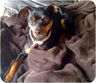 Miniature Pinscher Mix Dog for adoption in petaluma, California - Suzie