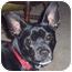 Photo 1 - Miniature Pinscher Mix Dog for adoption in Westfield, New York - Jake