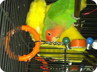 Lovebird for adoption in Punta Gorda, Florida - Kiwi & peaches